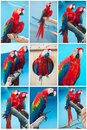 Ara parrots beautiful photos of tropical macao or scarlet macaw Royalty Free Stock Image