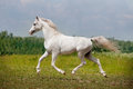 Arab horse runs free the in the field Royalty Free Stock Image