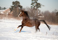 Arab horse runs in winter the Royalty Free Stock Image