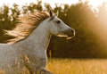 Arab horse in sunset a Stock Photos
