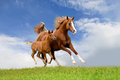 Arab mare with foal running isolated on the field Royalty Free Stock Images