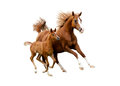 Arab Mare With Foal Running Is...