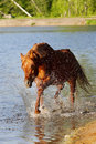 Arab stallion in water Stock Photo