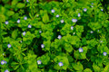 Arabia speedwell flowers of in china Stock Image