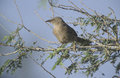 Arabian babbler turdoides squamiceps single bird on branch oman Royalty Free Stock Image