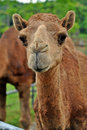 Arabian camel Stock Photos