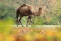 Arabian camel the adult standing in the grass Royalty Free Stock Photography