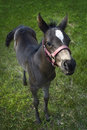 Arabian Colt Looks Up Royalty Free Stock Photo