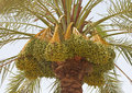 Arabian Dates Royalty Free Stock Photos