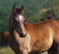 Arabian foal Stock Photography