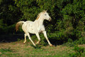 Arabian gray horse outdoor full body of a grey with alert facial expression running in the bushes Royalty Free Stock Photos