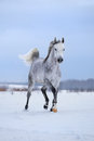 Arabian gray horse runs on snow field. Royalty Free Stock Photo
