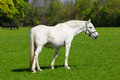 Arabian grey horse in a green field Royalty Free Stock Photography
