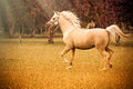 Arabian horse a beautiful palomino mare trotting across a field of yellow flowers Royalty Free Stock Photos