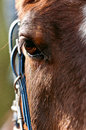 Arabian horse an captured during a training in a riding school Royalty Free Stock Images