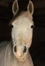 Arabian horse closeup of face inside a dark barn Royalty Free Stock Photo