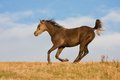 Arabian horse enjoys running on meadow across the Stock Photography