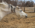 Arabian horse with funny expression dapple gray face making a ears down Royalty Free Stock Photography