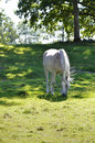 Arabian horse a grey is grazing in the green grass on a sunny day shadowed by trees Stock Images