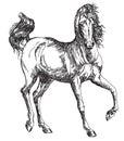 Arabian horse hand drawing illustration