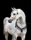 Arabian horse isolated on black background Royalty Free Stock Photo