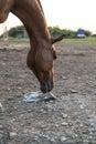 Arabian horse licking salt Royalty Free Stock Photo