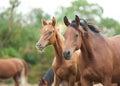 Arabian horses walking in herd Royalty Free Stock Photo