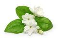Arabian jasmine, jasmine tea flower Royalty Free Stock Photo