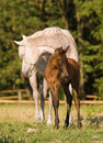 Arabian mare and foal Royalty Free Stock Images