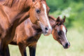 Arabian mare and foal closeup Royalty Free Stock Photo