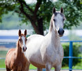 Arabian mare and foal portrait Royalty Free Stock Photo