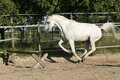 Arabian mare ready to jump Stock Images