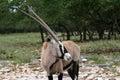 Arabian Oryx Royalty Free Stock Photo