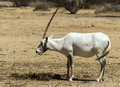 Arabian oryx in nature reserve antelope the leucoryx biblical hai bar km north of eilat israel Stock Photos