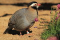 Arabian partridge Stock Photos