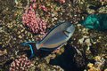 Arabian sohal surgeon fish in the natural environment, Red Sea