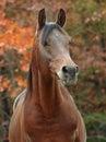 Arabian stallion Royalty Free Stock Photo