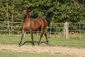 Arabian Stallion Royalty Free Stock Photos