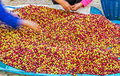 Arabica coffee berries pile of red on farm and size selection Royalty Free Stock Image