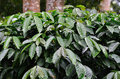Arabica coffee plants Royalty Free Stock Photos
