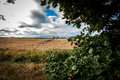 Arable landscape with late summer sky sycamore tree acer pseudoplatanus laden with mast Stock Photography
