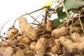 Arachidi grezze isolate Fotografia Stock Libera da Diritti