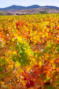 Aragon Paniza autumn golden red vineyard in Zaragoza Stock Photography