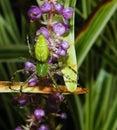 Araignée verte de lynx Image stock