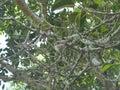 Araliya Tree
