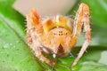Araneus diadematus Royalty Free Stock Photo