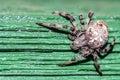 Araneus diadematus spider Royalty Free Stock Photo