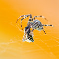 Araneus spider eats wasp tangled close up Stock Photos