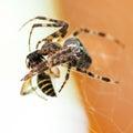 Araneus spider sucks wasp