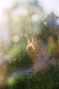 Araneus spider in the web trapdoor spiders lat is a genus of araneomorph spiders of family of orb spiders Royalty Free Stock Photography